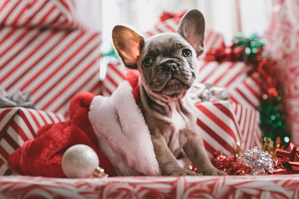 brindle French bulldog puppy in Santa hat